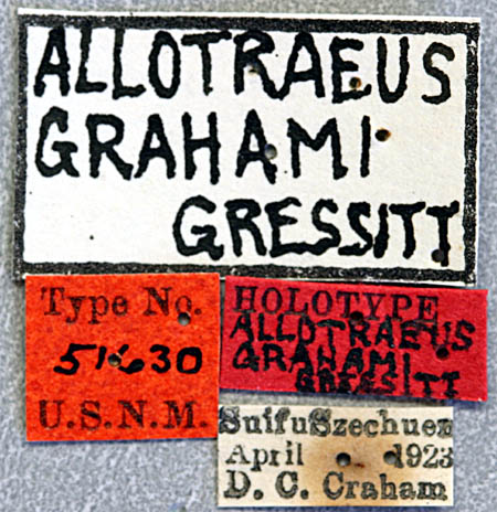 Allotreaus-grahami-L.jpg