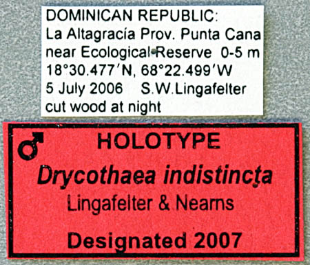 Drycothea-indist-L.jpg